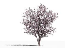 Magnolia (Magnolia x soulangeana Alexandrina)