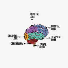 Parts of the brain with labeling
