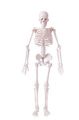 Skeleton isolated on the white