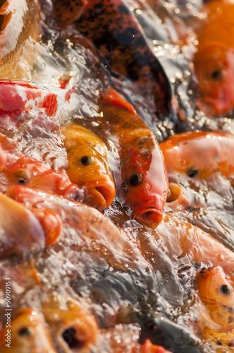 Frenzy fish wait for feeding