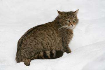 Europäische Wildkatze, European wildcat, Felis silvestris