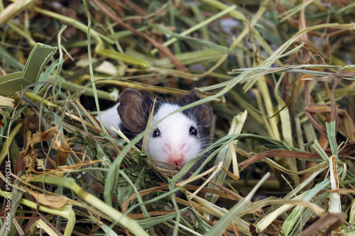 Little mouse sitting in the hay