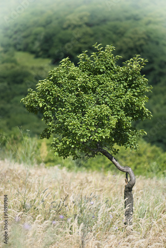 Lonely tree in a meadow