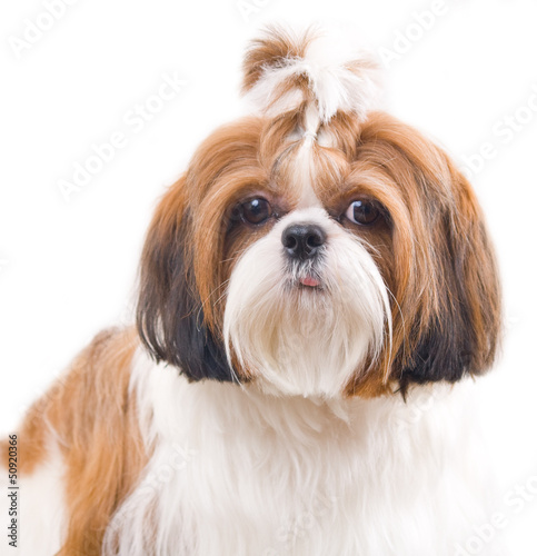 Shih Tzu dog in studio on a white background