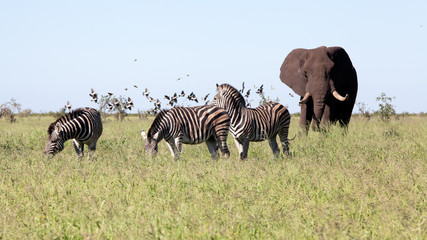 Elephant with Zebras and the birds in the bush