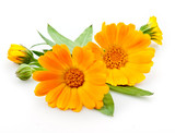 Fototapety Calendula. flowers with leaves isolated on white