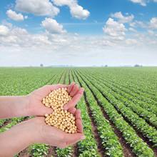 Ludzka ręka trzyma soi, z pola soi w plecy
