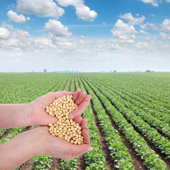 Human hand holding soybean, with soy field in back