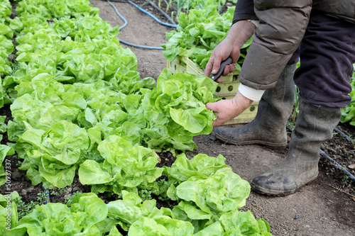 Farmer cutting fresh lettuce in greenhouse