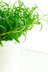 Fresh rosemary in a white pot