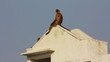 entellus monkeys on building top in Pushkar India