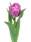 Fototapety tulip isolated on white background