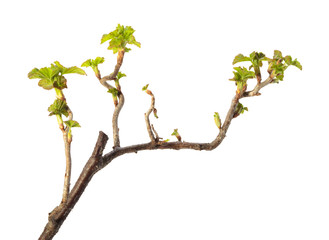 Spring leaves on blackcurrant twig
