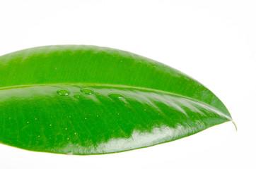 Wassertropfen perlen auf Gummibaumblatt