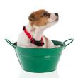 Six weeks old Jack Russel in green bucket