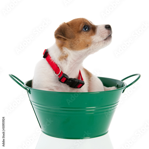 Six weeks old Jack Russel in green bucket