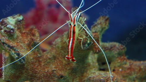 small red shrimp underwater