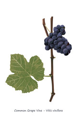 Grape vine shoot with fruit and leaf illustration