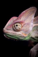 Closeup of chameleon