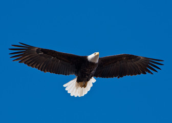 Bald Eagle soars overhead from the left