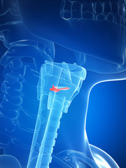 3d rendered illustration of the larynx anatomy - vocal chords