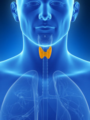 3d rendered illustration of the thyroid gland