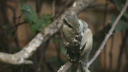 Chipmunk gnawing the branch