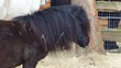 dösendes Pony