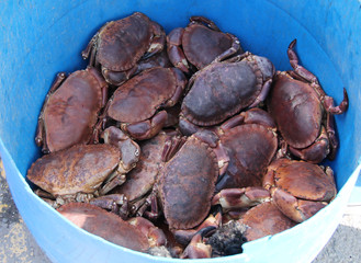 A Plastic Bucket Holding Freshly Caught Sea Crabs.