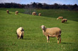 sheep on pasture eating grass