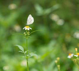pieris butterfly
