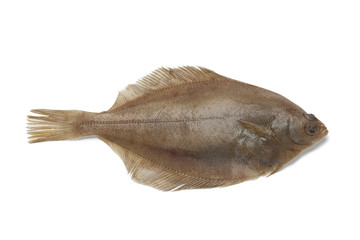 Common dab fish
