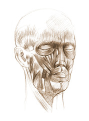 Face anatomy