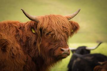 red bison closeup