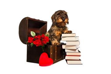 Dackel in einer Truhe mit roten Rosen