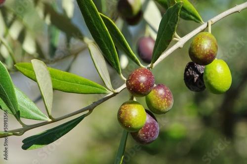 Staande foto Olijfboom Olive 47