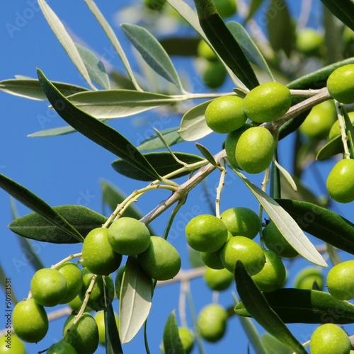 Aluminium Olijfboom Olive 50