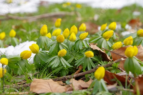 Winterling - winter aconite 08
