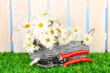 daisies in  wicker basket on grass on blue background