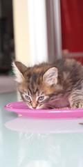 Cucciola di gatto siberiano tricolore in cucina con la pappa