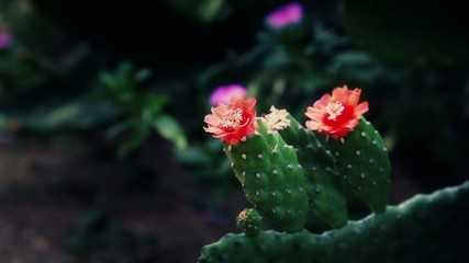 Cactus flower in India