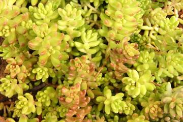 Planta del género Sedum, vegetal