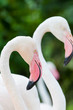 The two Flamingo bird in the zoo