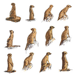 The vector set of meerkat in many poses