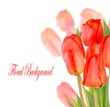 Beautiful tulips isolated on white background