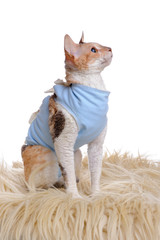 Cat Wearing Medical Pet Shirt After Surgery