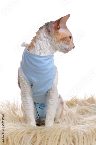 Cat Wearing Medical Pet Shirt After Operation