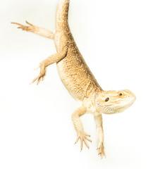 lizard pogona viticeps handing on tail