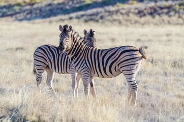 Burchell's zebras (Equus quagga burchellii) in the savannah