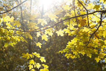 Autumn leaves with bright sun